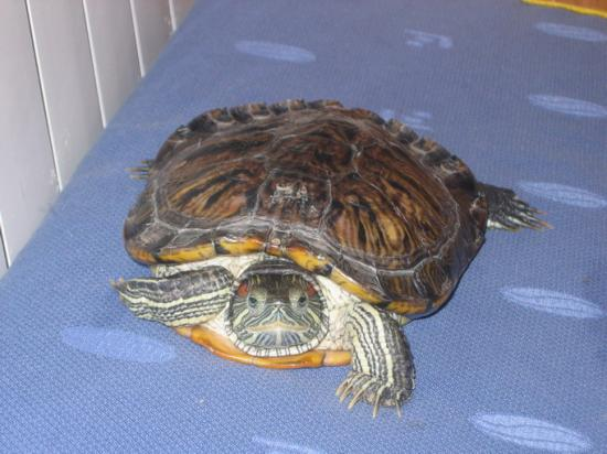 Had to Include a Pic of my Turtle Ugui. She&#039;s a Red Eared Slider